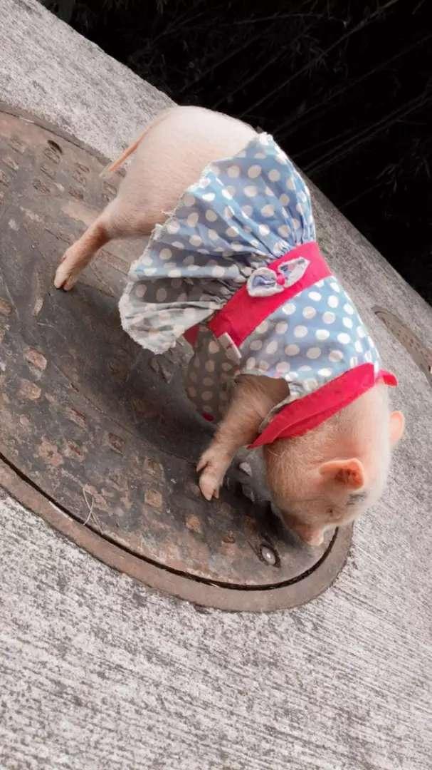 Hermosa mini pig de tres meses adiestrada 0