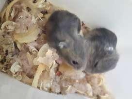 Venta de hamsters rusos (8000)