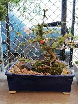 Se Vende Bonsai Holly Japones