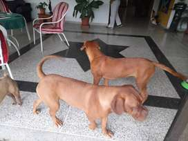 Dogo de Burdeos