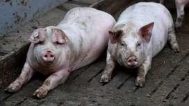 Cerdos para fiestas navideñas