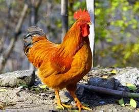 Gallos,gallinas y pollos
