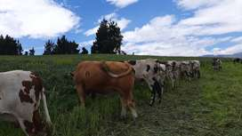 Vendo lote de 18 vacas Normando preñadas de 5 a 7 meses