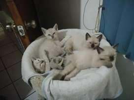Gaticos siames 2 meses nacidos