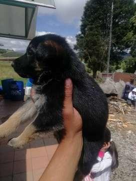 Se venden cachorros pastor alemán 2 machos