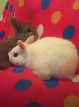 Conejos holandés enano