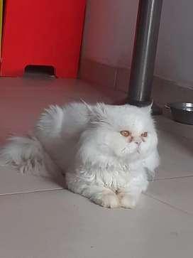 Gato persa clásico entero