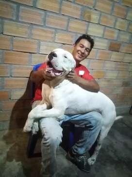 Dogo argentino selva