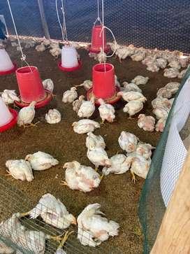 Pollos para la brasa organicos