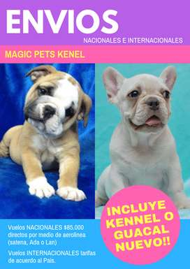 BULLDOG FRANCES E INGLES DE 58 DIAS   DISPONIBLES