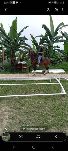 ganga caballo troton galopero ,capon