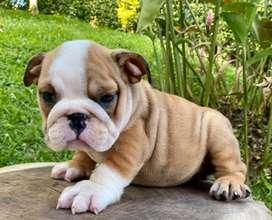 Bulldog ingles exoticos 100% originales , edad 45 dias, listos para entregar y hacer familias felices, primera vacuna