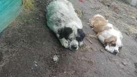 San Bernardo cachorros