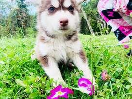Husky siberiano manto rojo ojos verdes