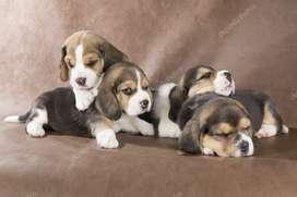 Tiernos cachorros beagle