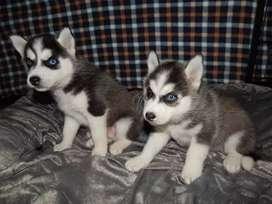 #4. Lobos siberianos preparados para la venta