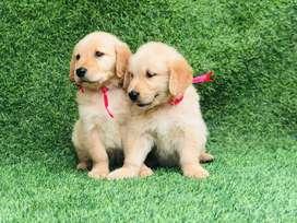 Cachorros golden machos