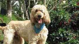 En adopcion perro: pluto (afgano)