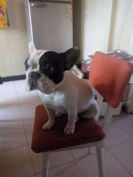 Bull dog francés para servicio