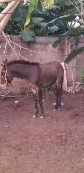 mulo y yegua preñada y paria de mula