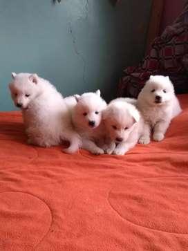 Cachorritos Samoyedo D Lujo