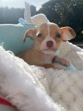 Ultimo! Chihuahua macho bolsillero