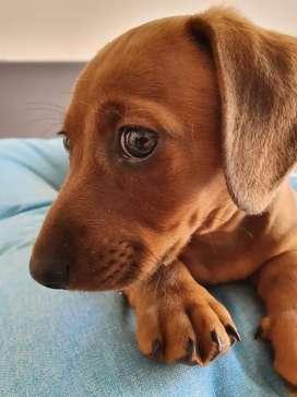 Cachorro Salchicha. Macho, vacunado y desparasitado. 55 dias