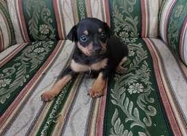 hermosa perrita pincher se entrega de 2 meses