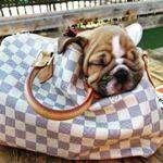 cachorritos vacunados bulldog ingles de 56 dias