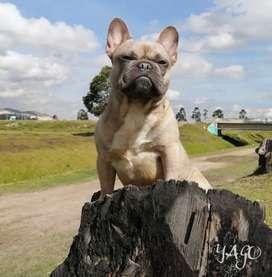 Bulldog frances para montas