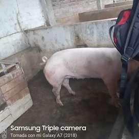 Vendo cerdos destetos