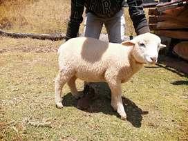 Venta de corderos de buena genetica negociables