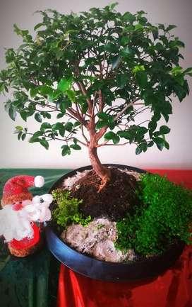 Bonsái, Jabatijaba navidad regalo entrega personal