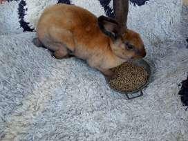Conejos Rex,  mascotas de pelo antialergico