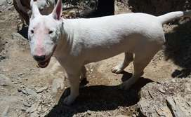 Vendo Perro Bull Terrier