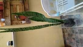 vendo sanseberia de 0.80 cm con esquejes