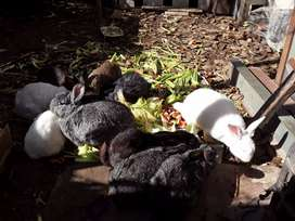 Conejos varias razas macho reproductor borgoño enanos orejas caidas criollos