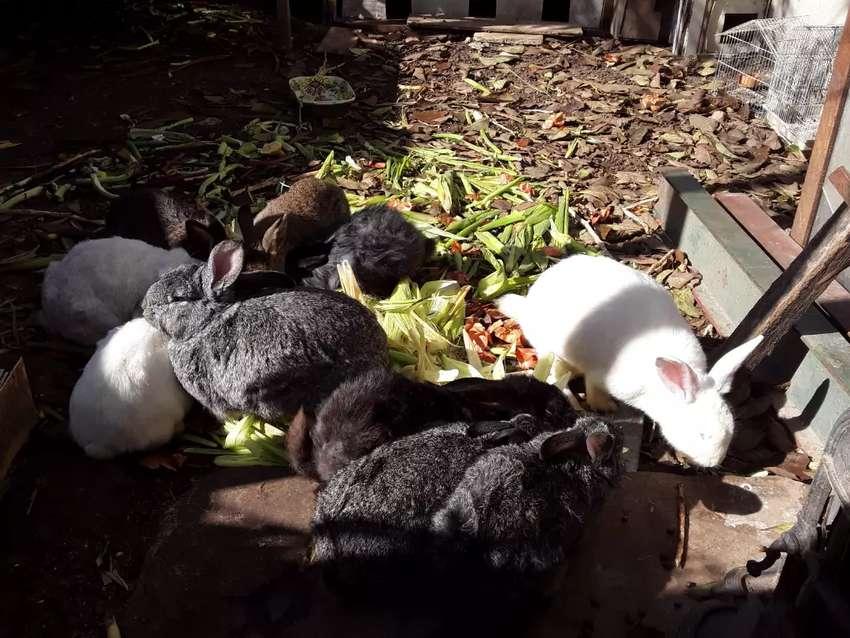 Conejos varias razas macho reproductor borgoño enanos orejas caidas criollos 0
