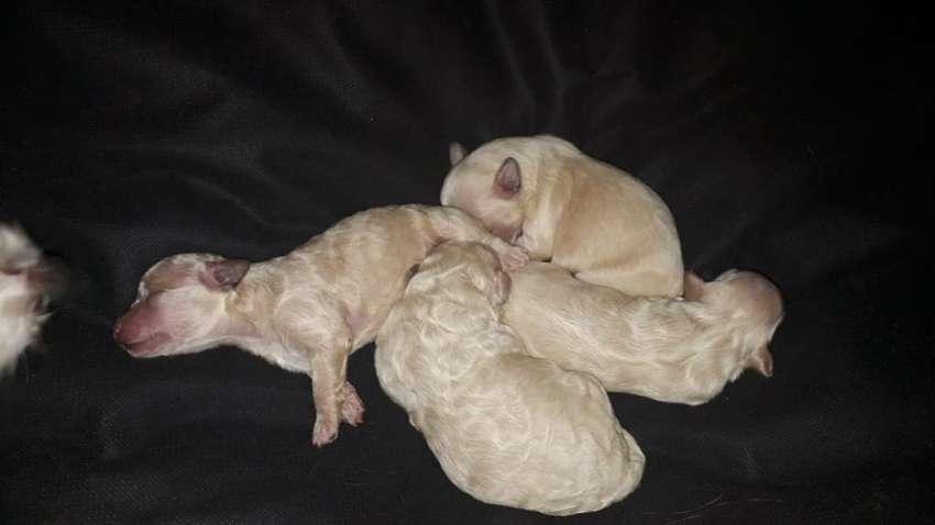 Vendo Cachorros Cruza Maltes con Caniche 0