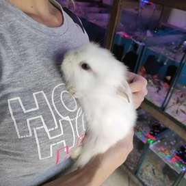 Venta de conejos teddy y cabeza de León