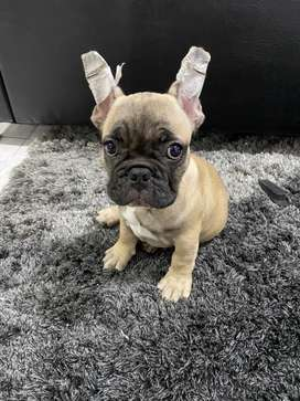 Bulldog frances Mascara Negra