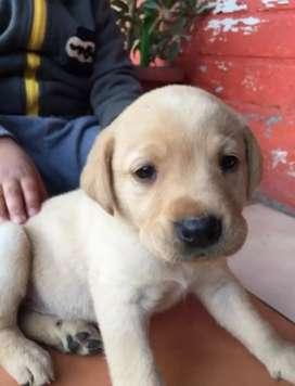 Labrador criador directo