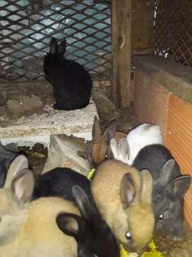 Vendo conejito cruza:  neteher con rex padres a la vista
