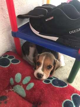 Beagle puro 2 meses y medio comprado en purina raza pura