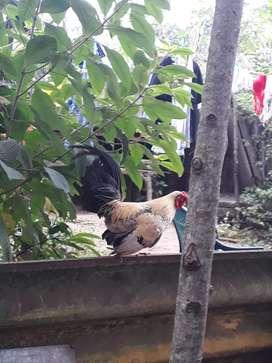 Venta de Gallo y gallina chiricano