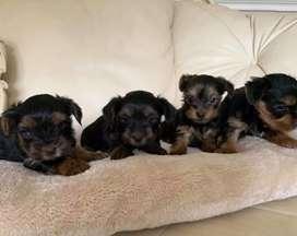 Muy hermosos cachorros Yorkshire terrier en venta