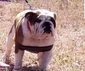 Hermoso bulldog Inglés en servivio