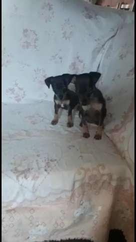 Cachorritos pinchers miniaturas