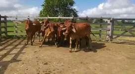 Hembras de vientre bráhman rojo de 320 a 340kgs
