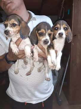 Beagle hembras y machos